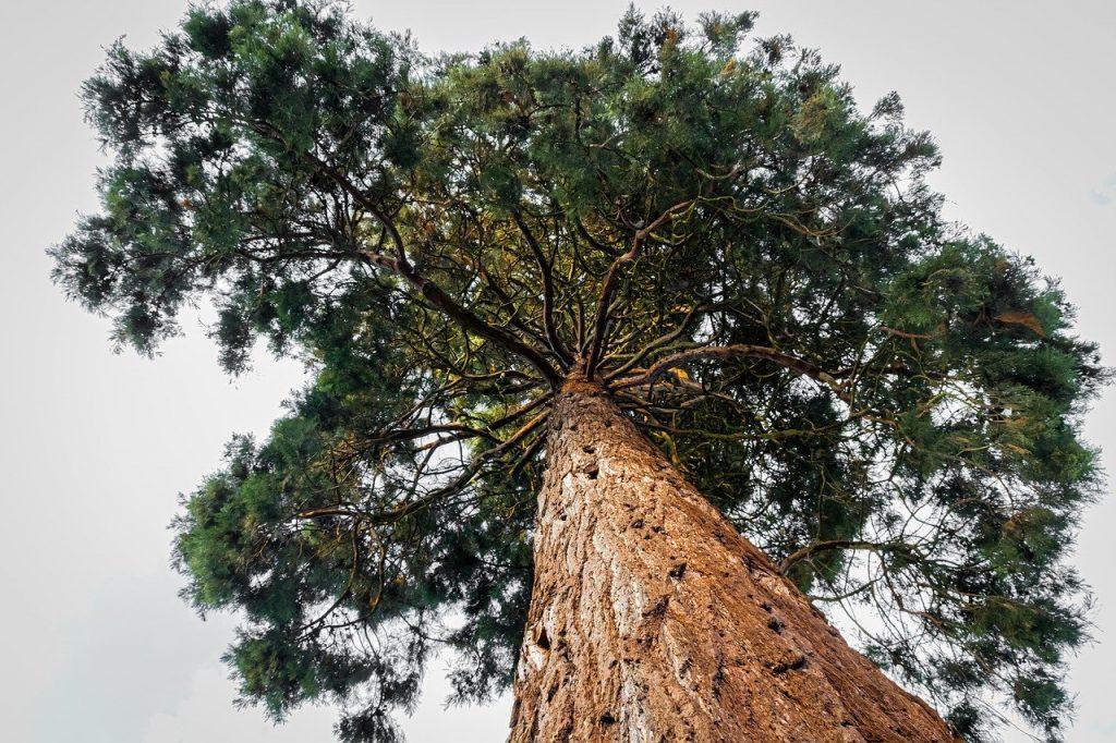 Árbol sequoia